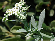 Heliotropium currasivicum az