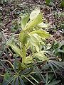 HelleborusFoetidus-plant.jpg
