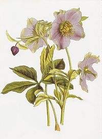 Elleboro wikiquote for Elleboro bianco