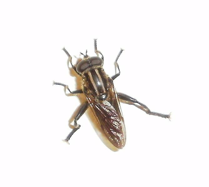 Diptera Of New Zealand