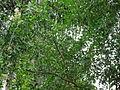 Henna - Mehendi - മൈലാഞ്ചി-3.JPG