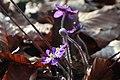 Hepatica nobilis 0573.jpg