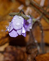 Hepatica nobilis 19.jpg