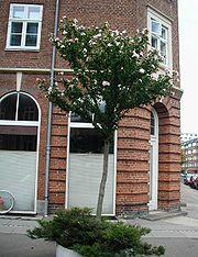 Hibiscus-syriacus-street-tree.JPG