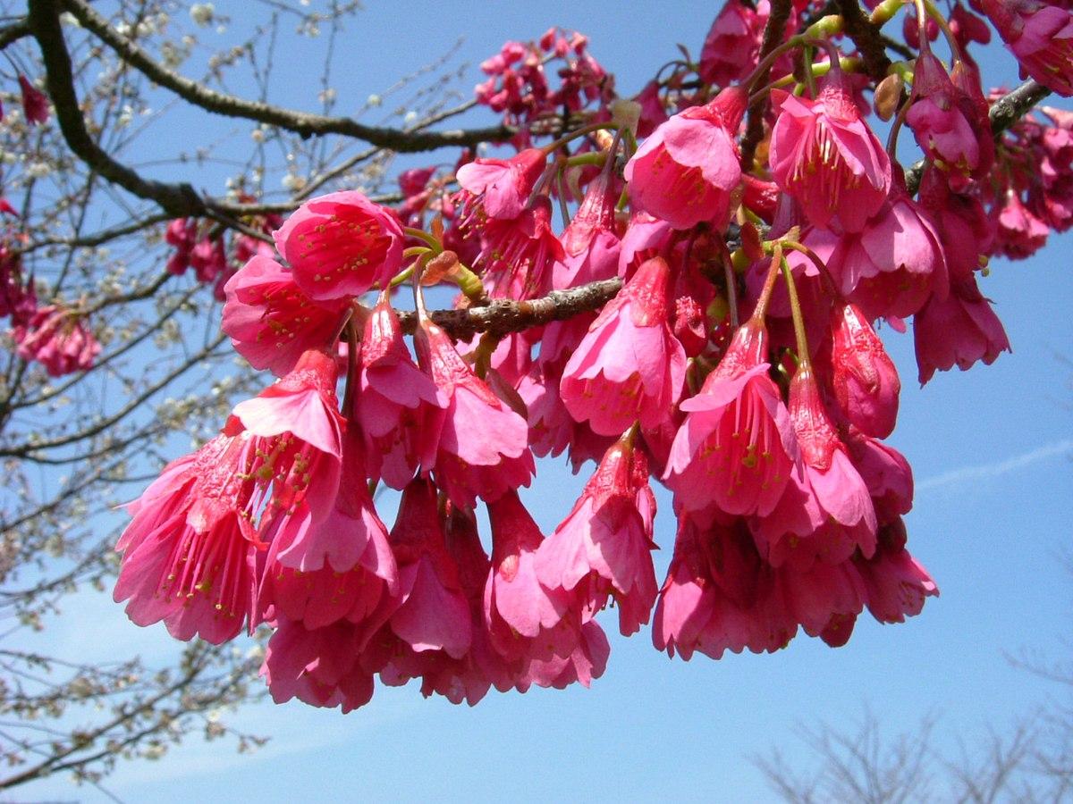 Prunus Campanulata Wikipedia