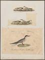 Hirundo fluviatilis - 1700-1880 - Print - Iconographia Zoologica - Special Collections University of Amsterdam - UBA01 IZ17900312.tif