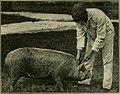 Hog cholera, its nature and control (1922) (14768640891).jpg