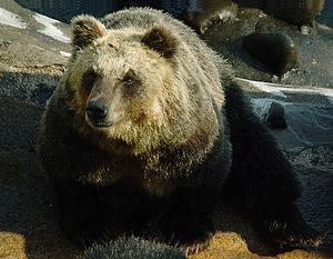 Sankebetsu brown bear incident - A Japanese brown bear at a zoo