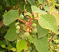 Homalanthus populifolius 05 ies.jpg