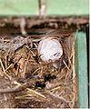 Hommel en wespennest(1).jpg