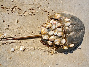 Atlantic horseshoe crab - Atlantic horseshoe crab with attached Crepidula shells on the Delaware Bay beach in Villas, New Jersey.
