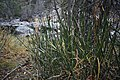 Horsetail at South Boulder Creek.jpg