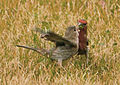 House Finches Courting and Feeding.jpg