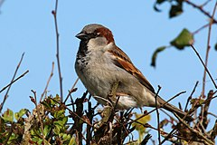 House sparrow (Passer domesticus).jpg