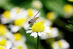 Hoverfly03 crop.jpg