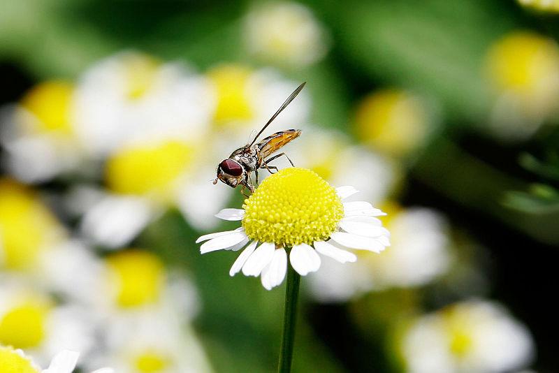 Ficheiro:Hoverfly03 crop.jpg