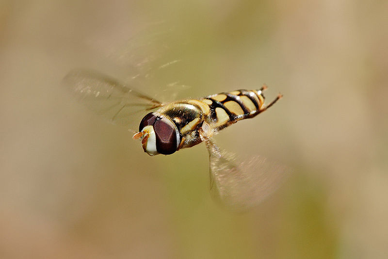 File:Hoverfly flying midair.jpg