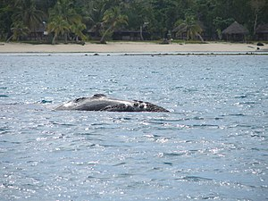 Southern right whale - Rare appearance along Madagascar at Île Sainte-Marie