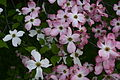 Hybrid-white-pink-dogwood-flowers - West Virginia - ForestWander.jpg