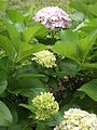 Hydrangea macrophylla cultivars 02.jpg