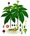 Hydrastis canadensis - Köhler–s Medizinal-Pflanzen-209.jpg