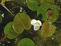 H. morsus-ranae, dyblad