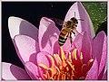 Hymenoptera on pink flower (41736968535).jpg