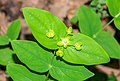 Hypericum androsaemum in Aveyron (1).jpg