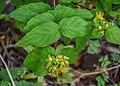 Hypericum androsaemum in Waioeka Gorge SR 01.jpg
