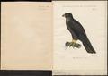 Hypotriorchis eleonora - 1839 - Print - Iconographia Zoologica - Special Collections University of Amsterdam - UBA01 IZ18200086.tif