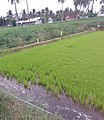 IMG Paddy field of Tamilnadu.jpg