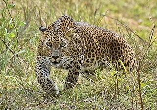 Sri Lankan leopard Leopard subspecies
