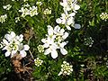 Iberis sempervirens L 02HD.jpg