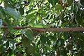 Iguana delicatissima in Coulibistrie l04.jpg