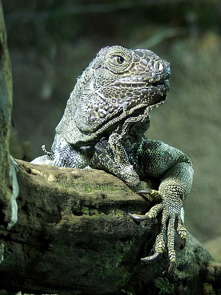 The Thinker, Iguana Edition. Image courtesy Orchi via Wikimedia Commons.