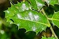 Ilex aquifolium in Aveyron (5).jpg
