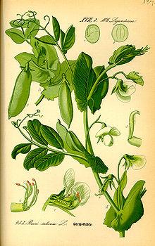 Pisum Sativum Biquipedia A Enciclopedia Libre