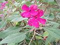 Impatiens gardeneriana-yercaud-salem-India.JPG