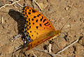 Indian Fritillary male (6928957072).jpg