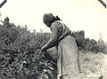 Indian woman picking huckleberries (3230032728).jpg