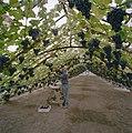 Interieur druivenkas, met de eigenaar dhr. W. van Dijk - Monster - 20405866 - RCE.jpg