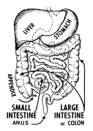 Line art drawing of an intestine