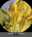 Inula spiraeifolia sl1.jpg