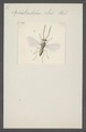 Iphitrachelus - Print - Iconographia Zoologica - Special Collections University of Amsterdam - UBAINV0274 047 02 0013.tif