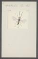 Iphitrachelus - Print - Iconographia Zoologica - Special Collections University of Amsterdam - UBAINV0274 047 02 0013.tif