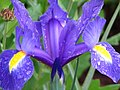 Iris (176363559).jpg