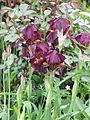 Iris intermediate bearded - Flickr - peganum.jpg