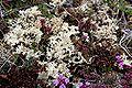 Isländisches Moos (Cetraria islandica) 6101.JPG