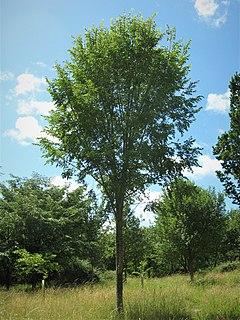 <i>Ulmus</i> San Zanobi Elm cultivar