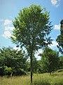 Italian hybrid elm cultivar Ulmus 'San Zanobi'.jpg